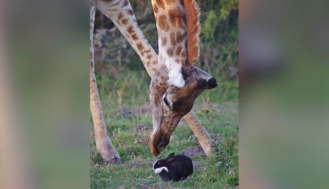 Bunny Finds A Very Unusual Hiding Place Under A Giraffe
