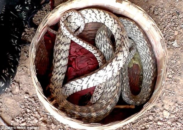 king-cobras_v8