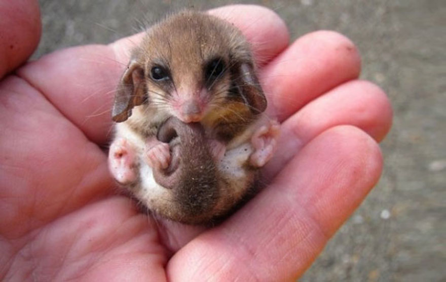 pygmy-possum_cute-animals