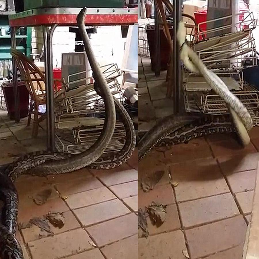 pythons-battling-v1
