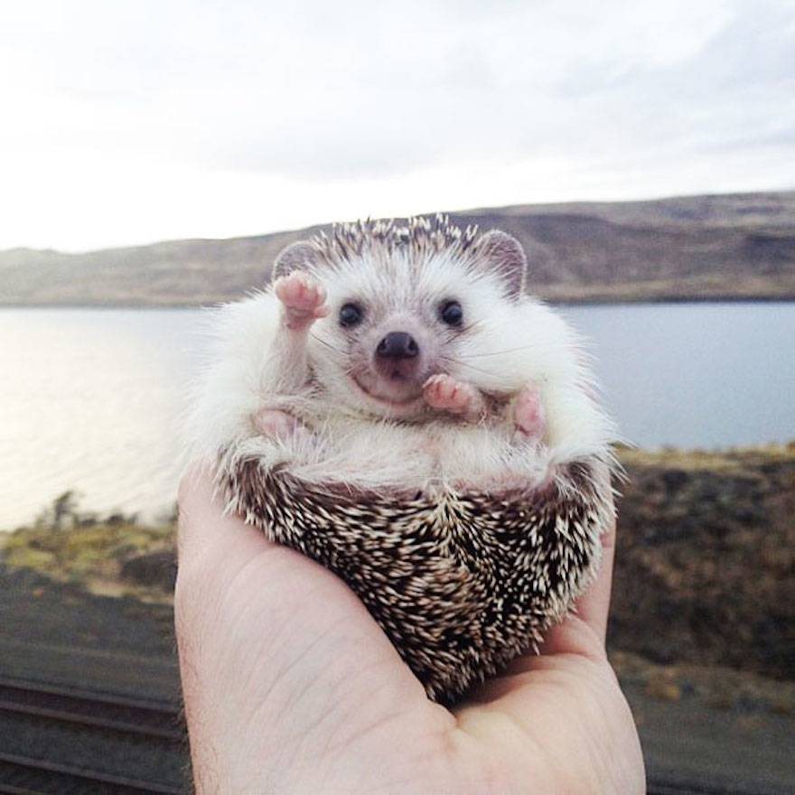 smiley-baby-hedgehog_cute-animals