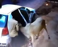 cow-was-grabbed
