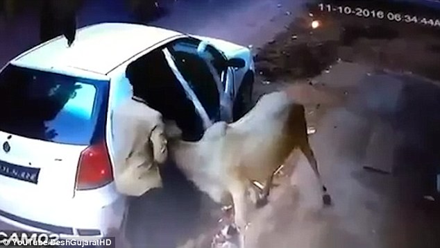 This Is Why Gau Rakshaks Didn't Stop Thieves Shoving Cow Into Backseat Of A Car!