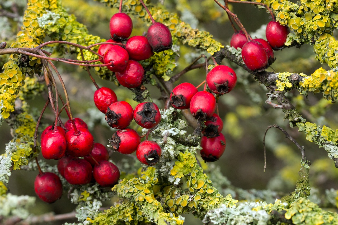 Hawthorn is Healthy for Your Heart