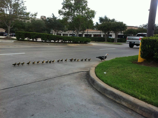 Her Obedient Babies Never Get Too Far From The Gaggle