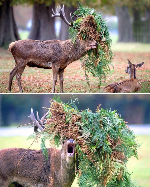 Performing Deer