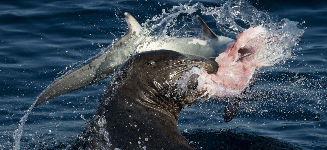 Sea lion eats Thresher shark