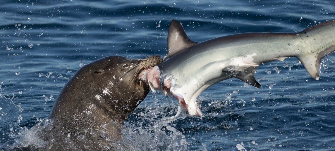 Sea lion eats Thresher shark