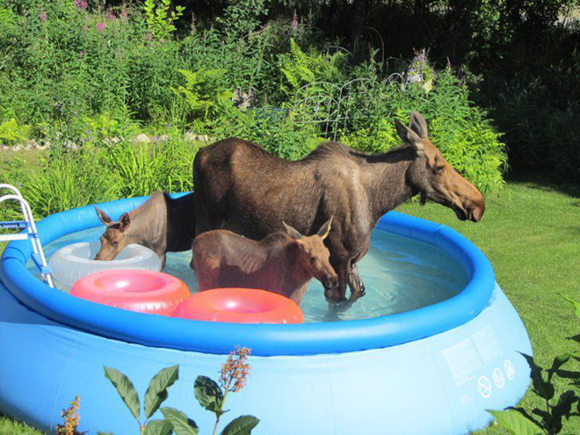 She's The Coolest Moose Mom On The Block Since They Got The Pool