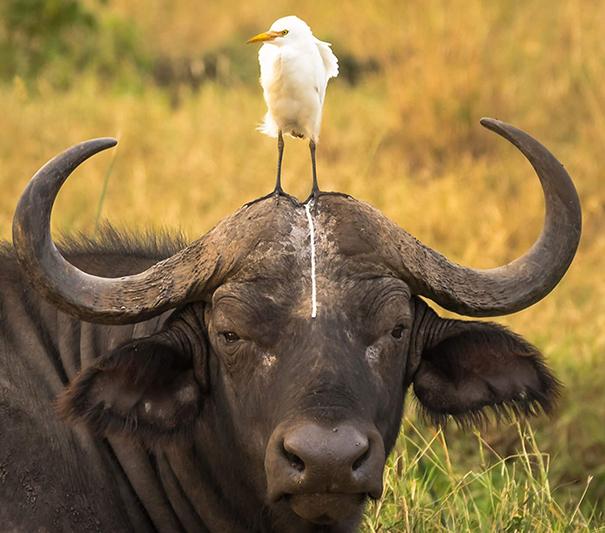 Funny Buffalo