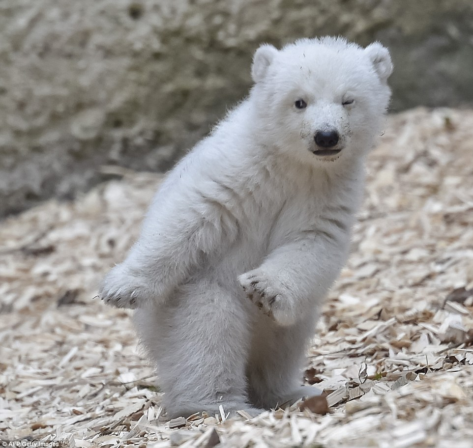 Baby Polar Bear Takes First Steps Outside At The Zoo In Germany