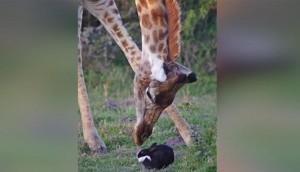 Bizarre Moment A Giraffe Met A Pet Rabbit