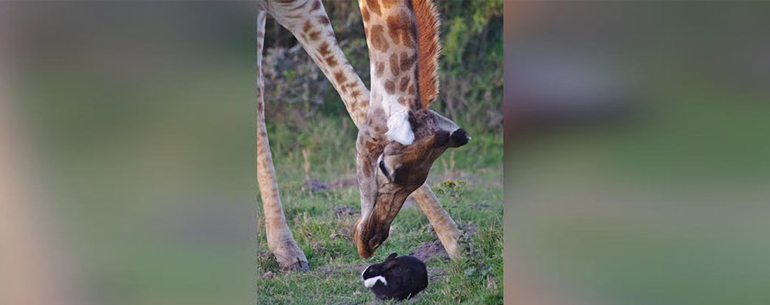 Touching Moment  Bunny Finds A Very Unusual Hiding Place Under A Giraffe