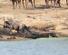 Hippos Rescue Wildebeest from Crocodile