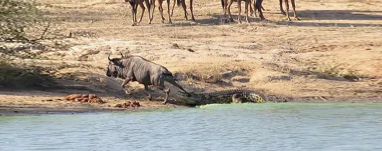 Hungry Hippos Stop Wildebeest Being Eaten By A Crocodile