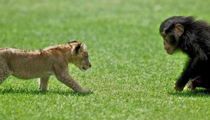 Lion Cub Playing With his monkey friend