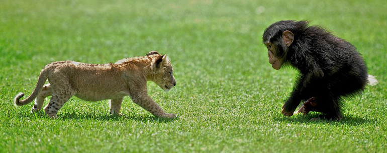 Lion Cub Who Was Rescued From Abandoned Car Is Nicknamed Brave Playing With His New Primate Friend