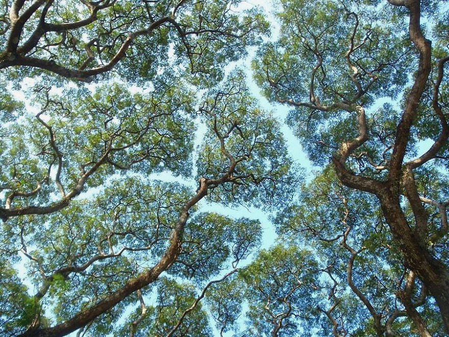 "Stunning Example Of ""crown Shyness"", A Phenomenon Where Trees Avoid Touching"