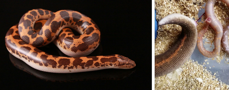 Watch how a sand boa gives birth
