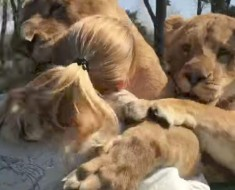 lions-amazing-reaction-after-seeing-woman-who-reared-them-for-first-time-in-seven-years-3