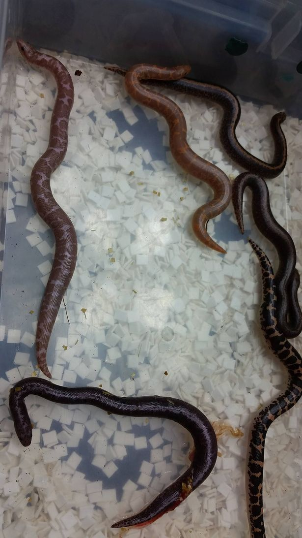 sand boa gives birth-4