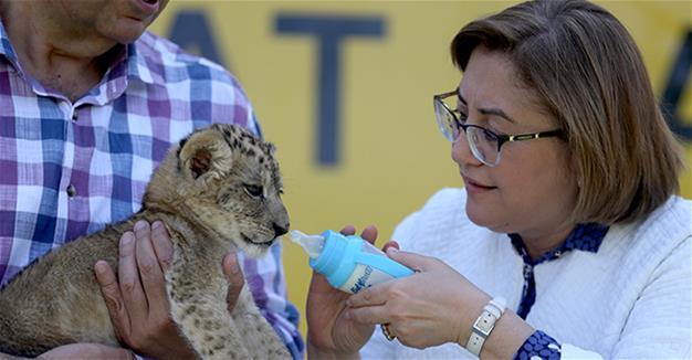 saved lion cub, names him 'Brave'