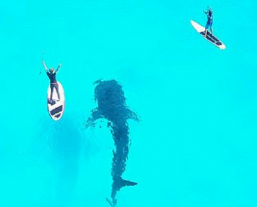 Drone Video Shows A Gentle Whale Shark Looms Below