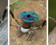 Newest Peacock Spiders