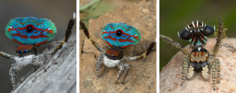 Meet The World's Most Beautiful Spiders, Peacock Spiders!