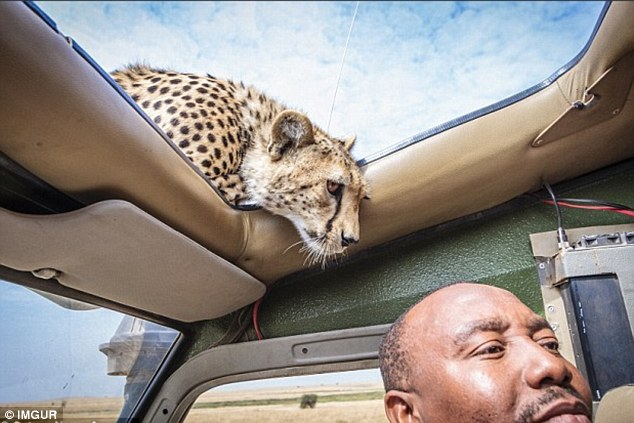 Cheetah Was Sizing Up His Skull