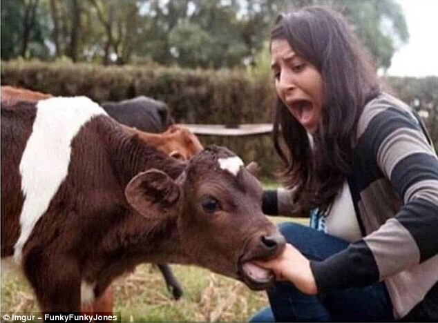 Cow Having A Chomp On An Innocent Human