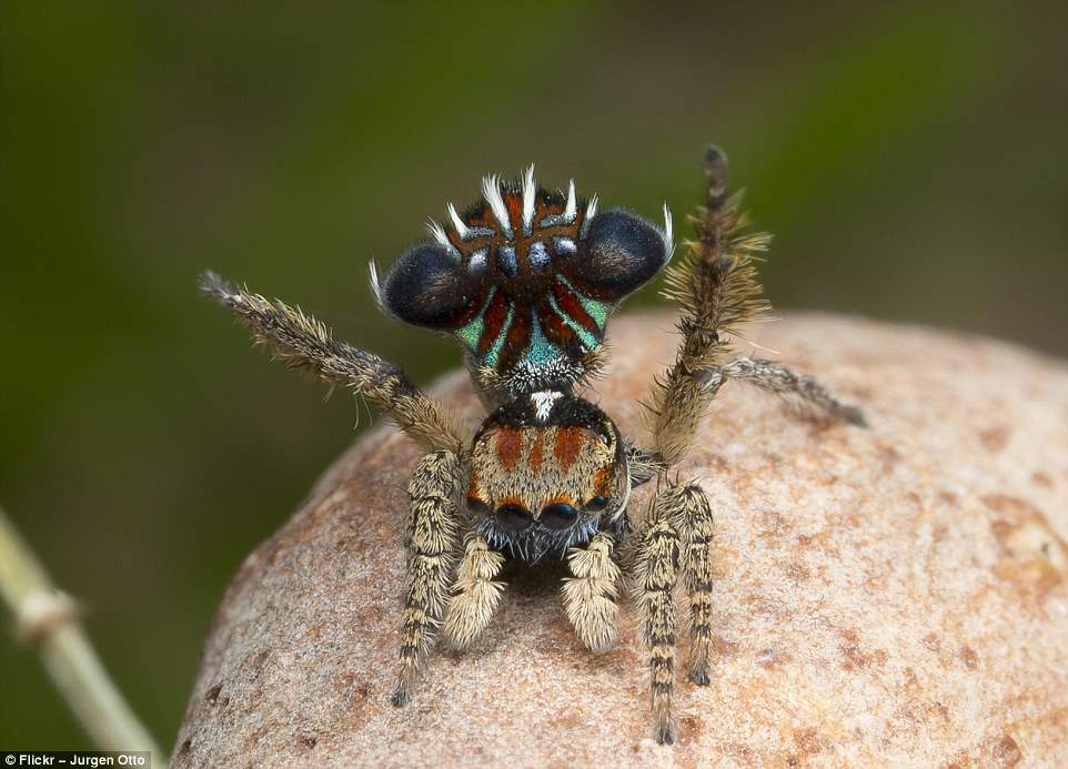 buy peacock spider