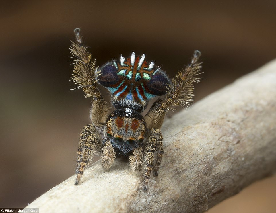 peacock spider dance