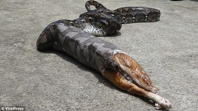 snake eats dog