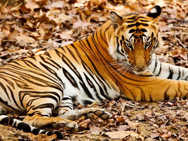 World Tiger Day-2017