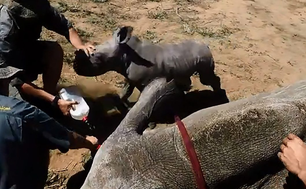 Cute Baby Rhino Tries To Protect His Mother