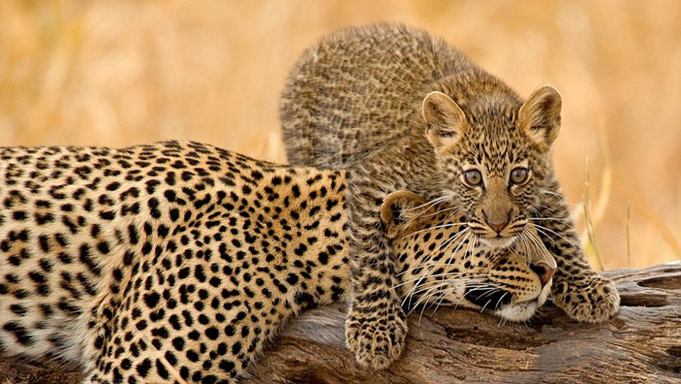 Leopard with her cub