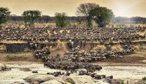 Migration Of A Million Wildebeest!