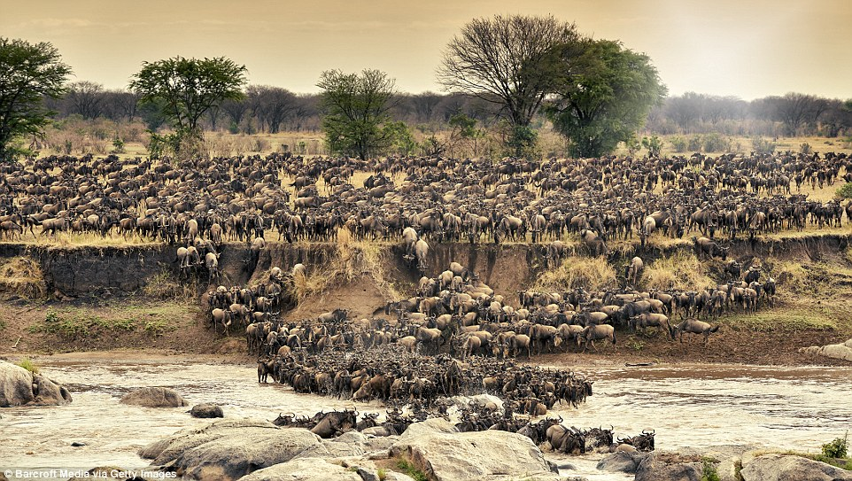 Incredible Migration Of A Million Wildebeest! Seemingly The Greatest Wildlife Show On Earth!!