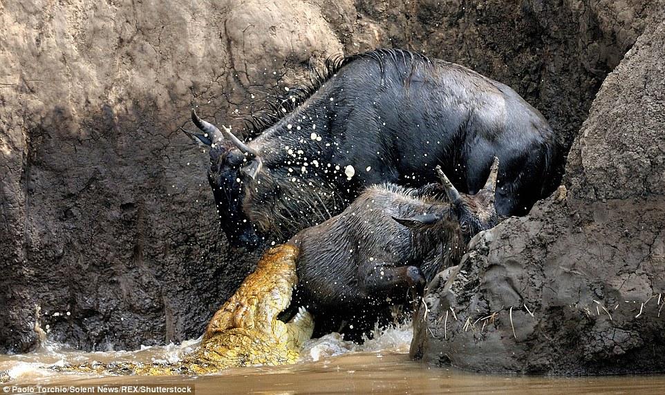 Wildbeest stalked by crocodiles