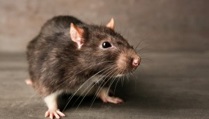 get rid from rats