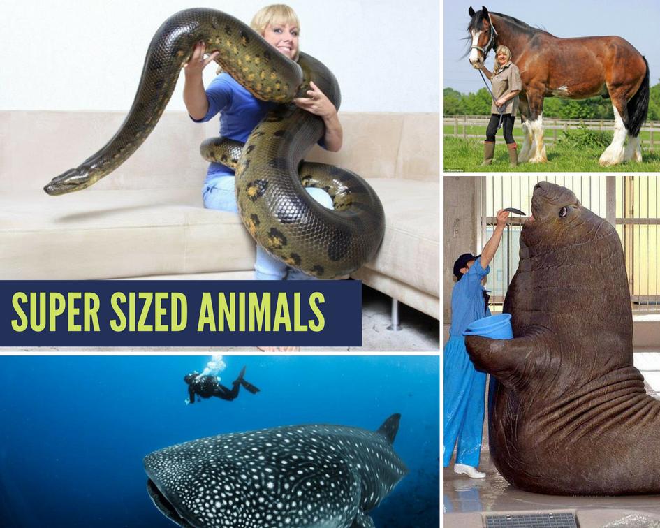 SUPER SIZED Animals