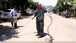 9-Foot King Cobra From Car