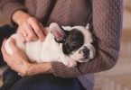 Exercise Does A French Bulldog_1
