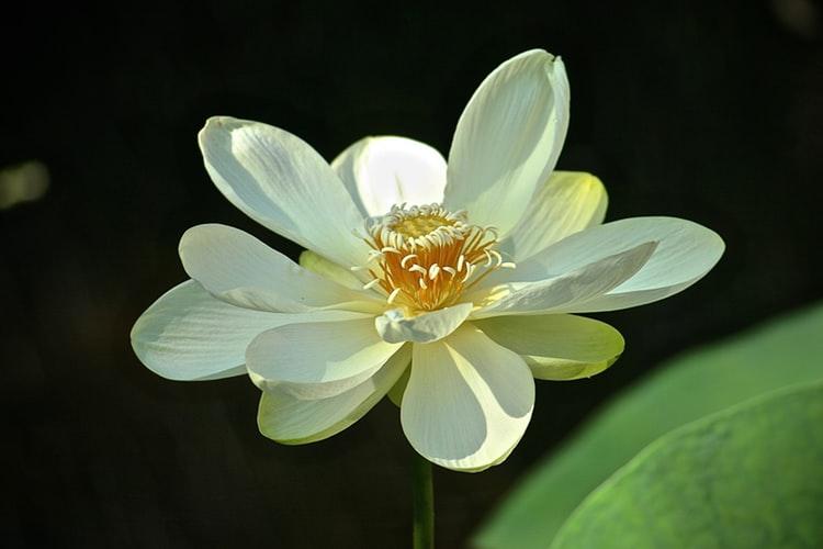 Plant Fragrant Flora