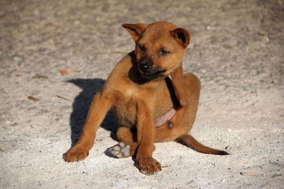 Flea Control For Pets And Professional Flea Control Services