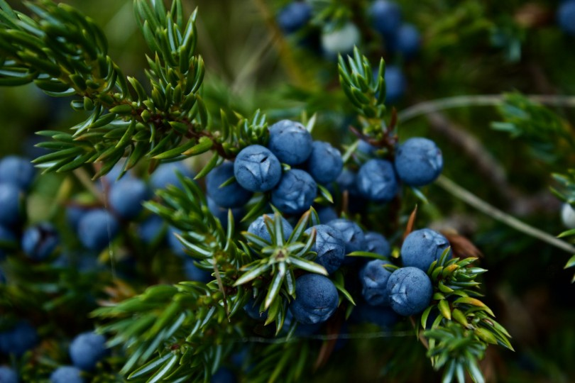 7 Steps How To Grow Blueberries In Your Backyard