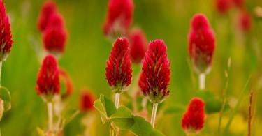 Know About Red Clover